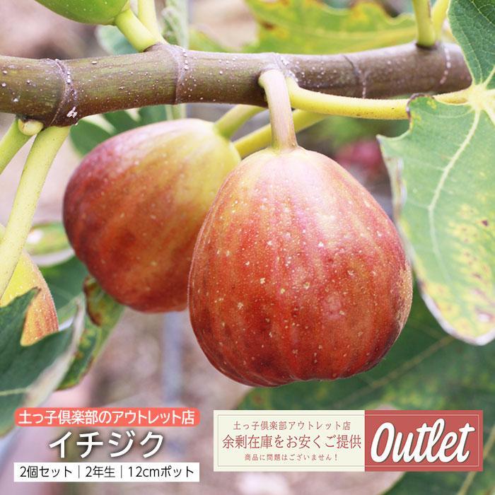 【訳あり・在庫処分】イチジク 2年生 12cmポット苗 ※2品種セット|produce87