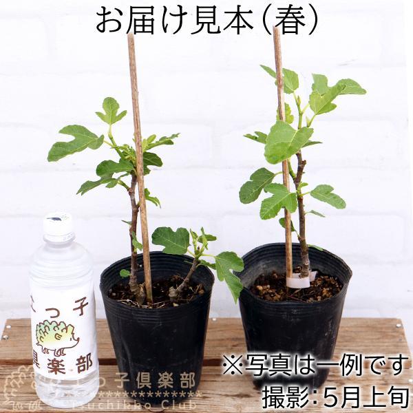 【訳あり・在庫処分】イチジク 2年生 12cmポット苗 ※2品種セット|produce87|02