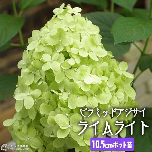 ピラミッドアジサイ 『 ライムライト 』 10.5cmポット苗|produce87