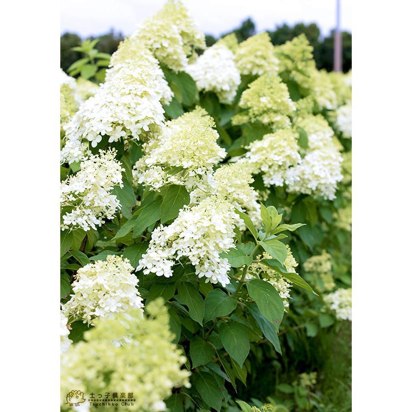 ピラミッドアジサイ 『 ライムライト 』 10.5cmポット苗|produce87|05
