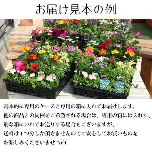 春夏の花苗 24個セット ( 送料無料 )|produce87|02