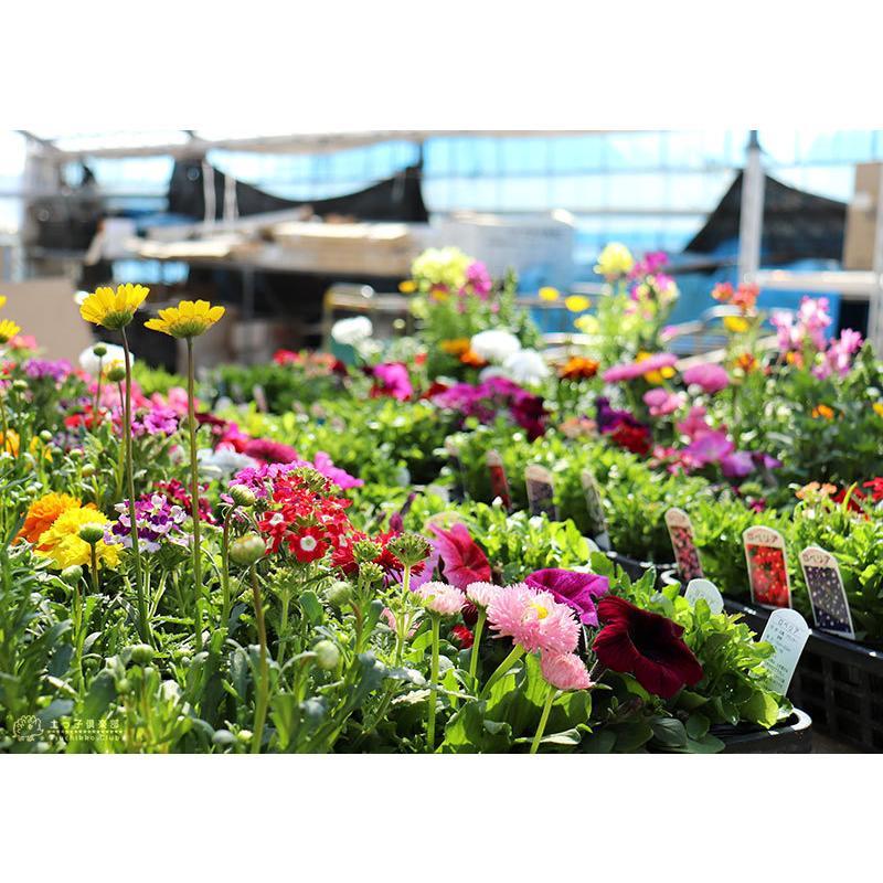 春夏の花苗 24個セット ( 送料無料 )|produce87|15