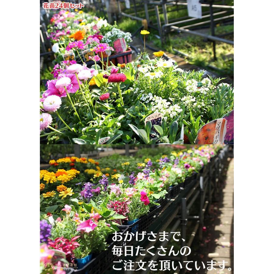 春夏の花苗 24個セット ( 送料無料 )|produce87|10
