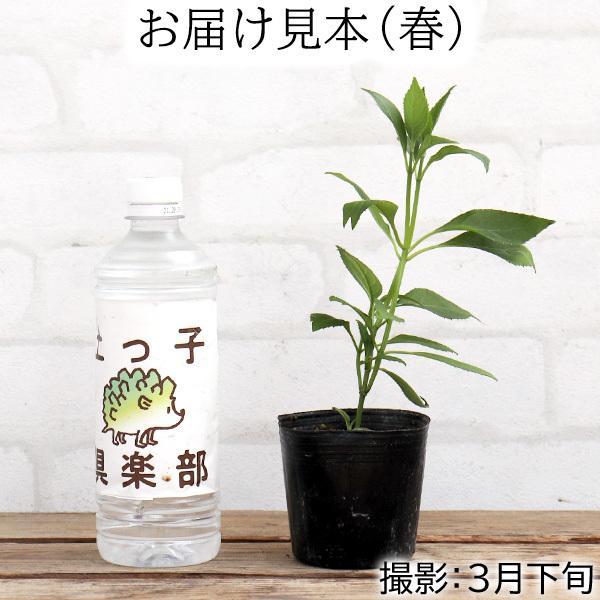常緑アジサイ 『 碧の瞳 ( アオノヒトミ ) 』9cmポット苗 珍種|produce87|02