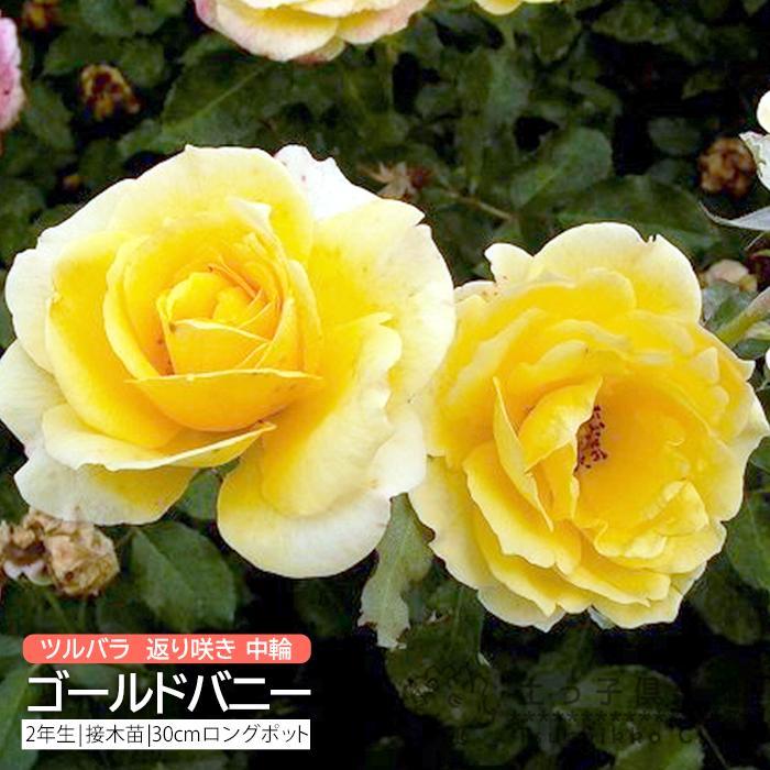 ツルバラ 中輪 『 ゴールドバニー 』 2年生接 ぎ木苗 (クライミングローズ) 返り咲 produce87