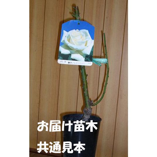 ツルバラ 中輪 『 ゴールドバニー 』 2年生接 ぎ木苗 (クライミングローズ) 返り咲 produce87 02