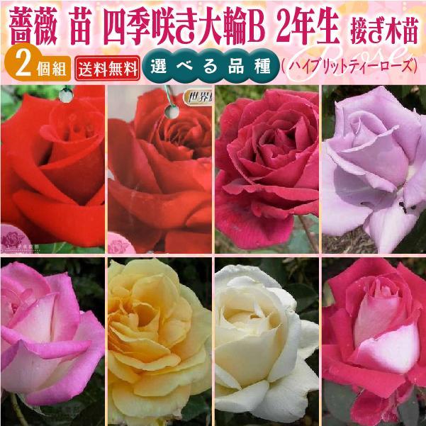 四季咲き大輪 B 選べる品種 2個セット ( 送料無料 ) 2年生接 ぎ木苗 ( ハイブリットティーローズ )|produce87