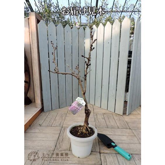 長崎一才藤 ( 花ふじ ) 6号鉢植え|produce87|02