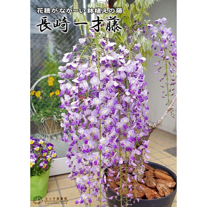 長崎一才藤 ( 花ふじ ) 6号鉢植え|produce87|05