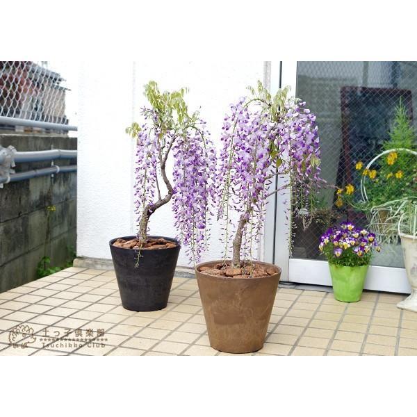 長崎一才藤 ( 花ふじ ) 6号鉢植え|produce87|06