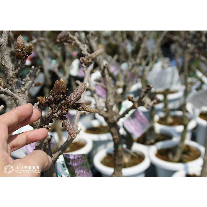 長崎一才藤 ( 花ふじ ) 6号鉢植え|produce87|07