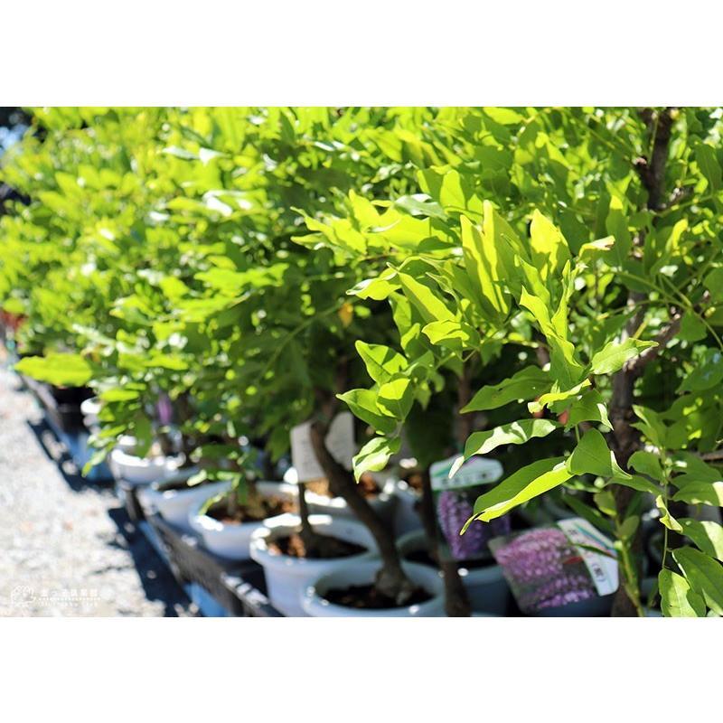 長崎一才藤 ( 花ふじ ) 6号鉢植え|produce87|10