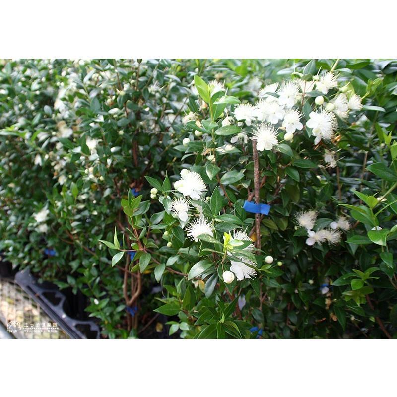 香る花木 『 銀梅花 ( ギンバイカ ) 』 マートル 15cmポット苗|produce87|10