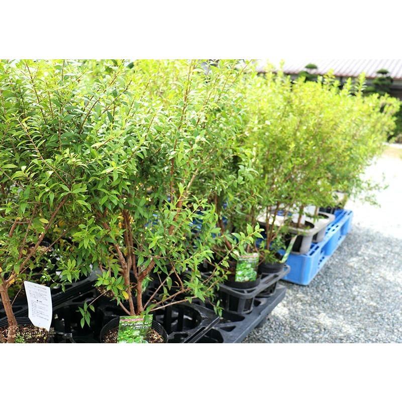 香る花木 『 銀梅花 ( ギンバイカ ) 』 マートル 15cmポット苗|produce87|11