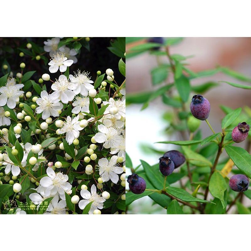 香る花木 『 銀梅花 ( ギンバイカ ) 』 マートル 15cmポット苗|produce87|03