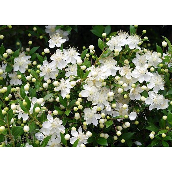 香る花木 『 銀梅花 ( ギンバイカ ) 』 マートル 15cmポット苗|produce87|05