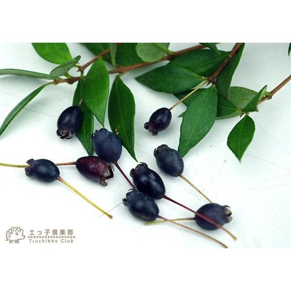 香る花木 『 銀梅花 ( ギンバイカ ) 』 マートル 15cmポット苗|produce87|06