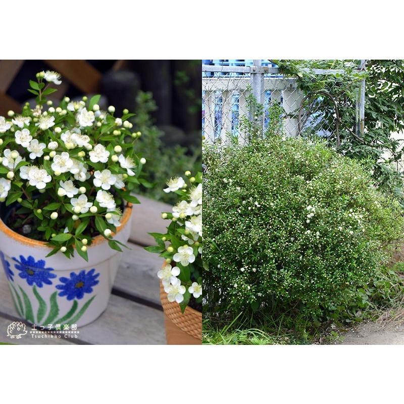 香る花木 『 銀梅花 ( ギンバイカ ) 』 マートル 15cmポット苗|produce87|08