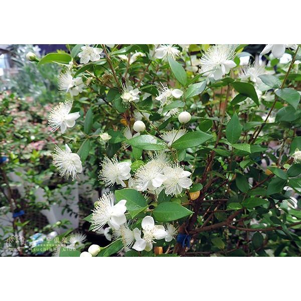 香る花木 『 銀梅花 ( ギンバイカ ) 』 マートル 15cmポット苗|produce87|09
