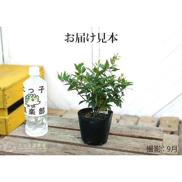 カロライナジャスミン 10.5cmポット苗|produce87|02