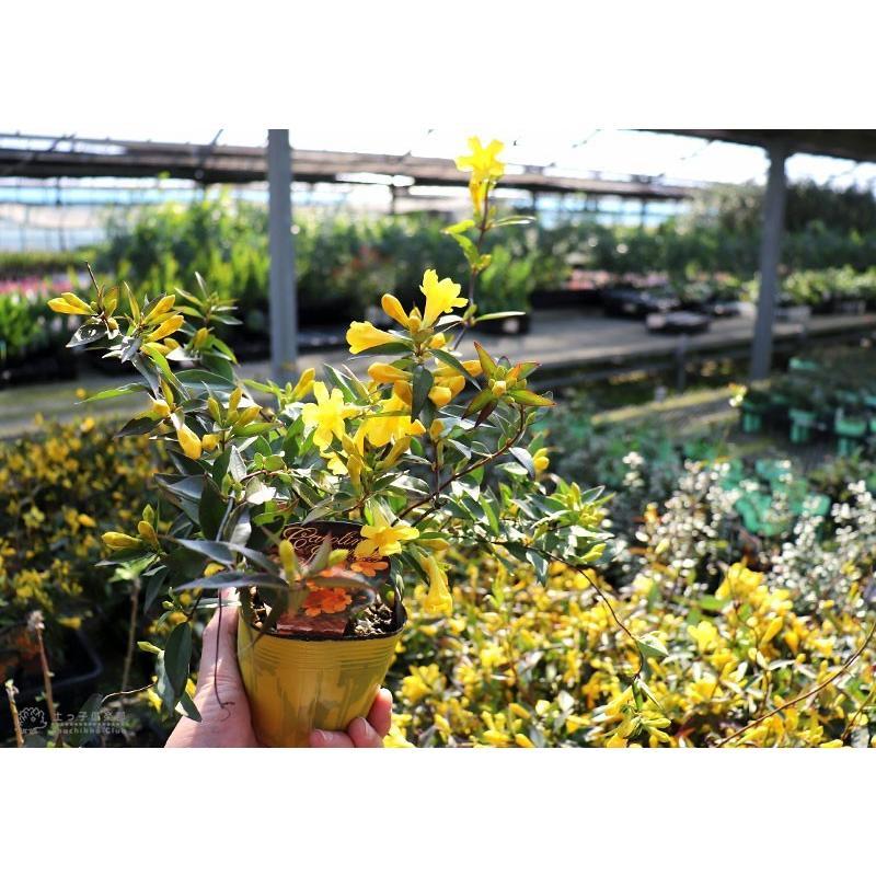 カロライナジャスミン 10.5cmポット苗|produce87|11