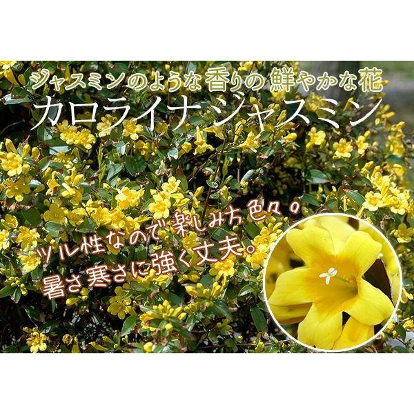 カロライナジャスミン 10.5cmポット苗|produce87|06