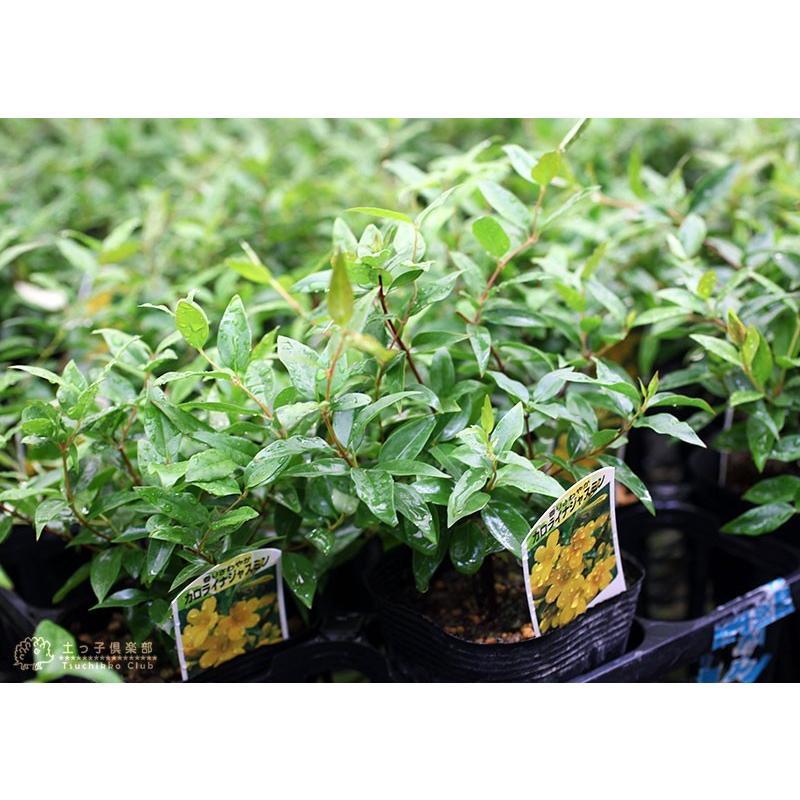 カロライナジャスミン 10.5cmポット苗|produce87|07