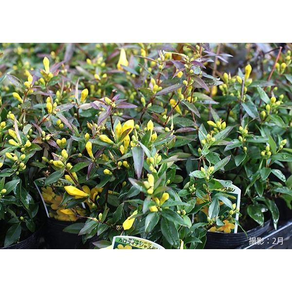 カロライナジャスミン 10.5cmポット苗|produce87|08