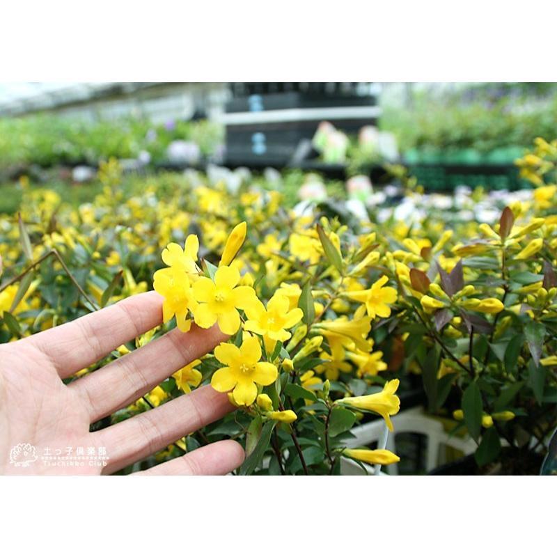 カロライナジャスミン 10.5cmポット苗|produce87|09