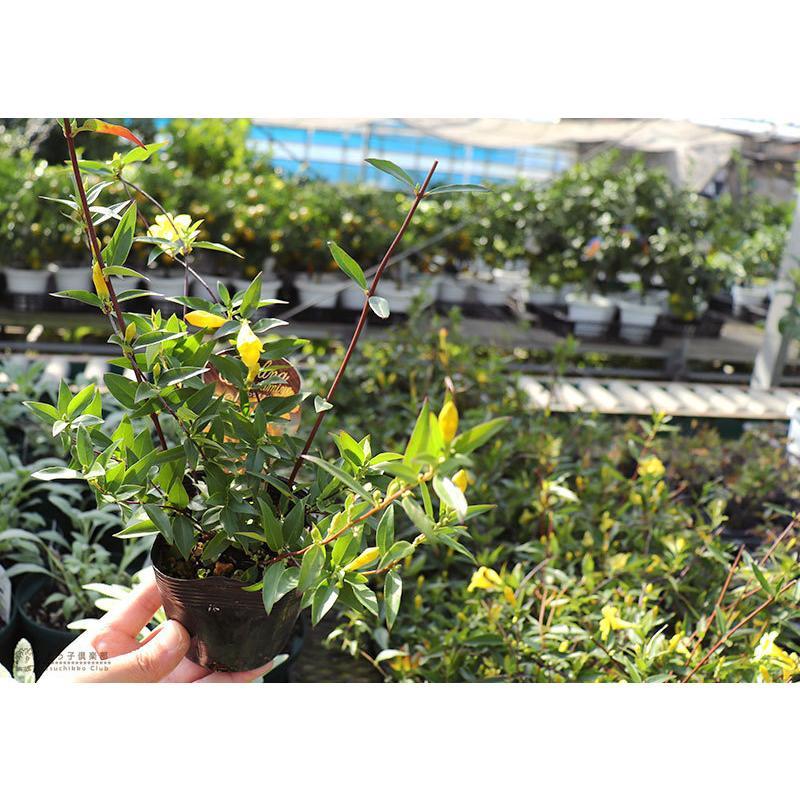 カロライナジャスミン 10.5cmポット苗|produce87|10