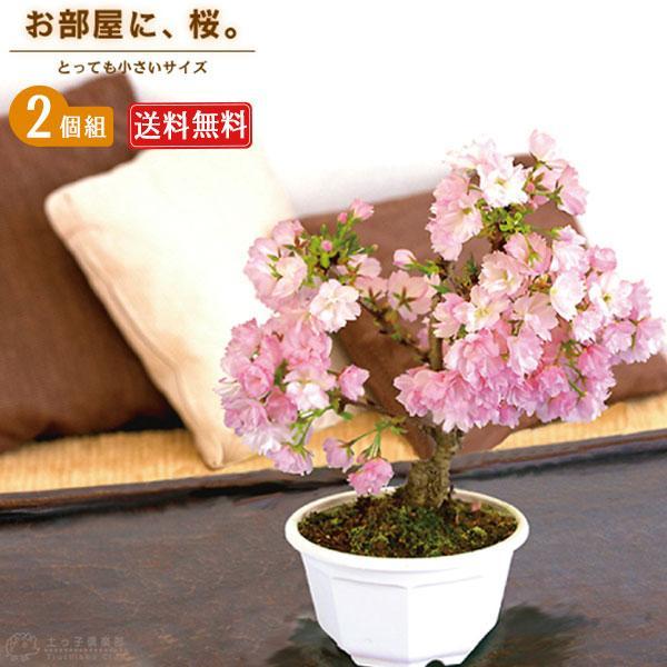桜盆栽 『 一才桜 旭山 ( あさひやま ) 』 2個セット 送料無料 ( 花芽付き )|produce87