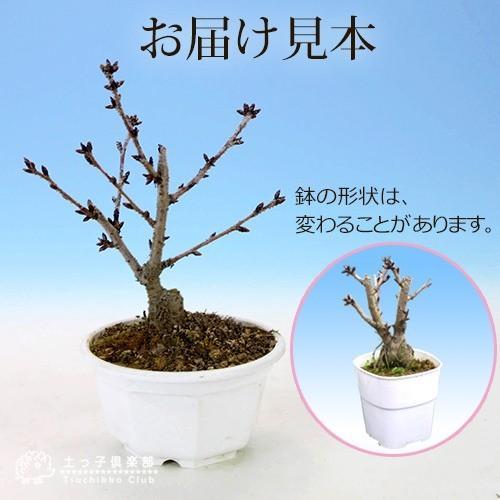 桜盆栽 『 一才桜 旭山 ( あさひやま ) 』 2個セット 送料無料 ( 花芽付き )|produce87|02