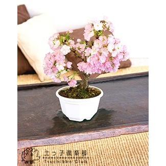 桜盆栽 『 一才桜 旭山 ( あさひやま ) 』 2個セット 送料無料 ( 花芽付き )|produce87|03