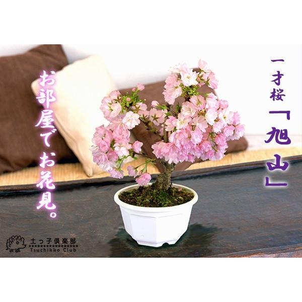 桜盆栽 『 一才桜 旭山 ( あさひやま ) 』 2個セット 送料無料 ( 花芽付き )|produce87|04