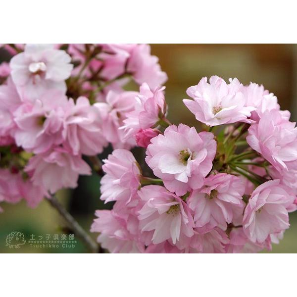 桜盆栽 『 一才桜 旭山 ( あさひやま ) 』 2個セット 送料無料 ( 花芽付き )|produce87|05