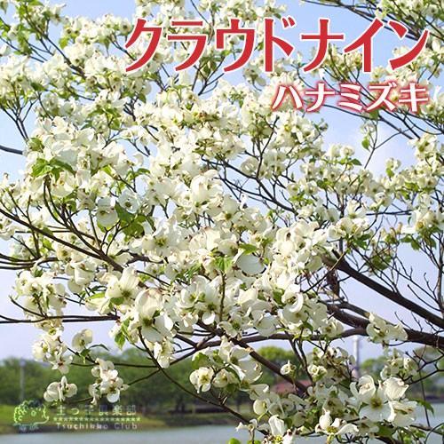 ハナミズキ 『 クラウドナイン 』 13.5cmポット苗 :t-204:花と緑の専門 ...