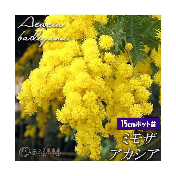ミモザアカシア 5号(15cm)ポット苗木 ( 銀葉アカシア )|produce87