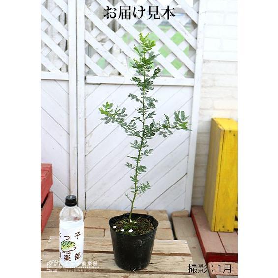 ミモザアカシア 5号(15cm)ポット苗木 ( 銀葉アカシア )|produce87|02