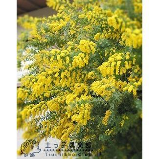 ミモザアカシア 5号(15cm)ポット苗木 ( 銀葉アカシア )|produce87|03