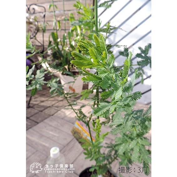 ミモザアカシア 5号(15cm)ポット苗木 ( 銀葉アカシア )|produce87|04
