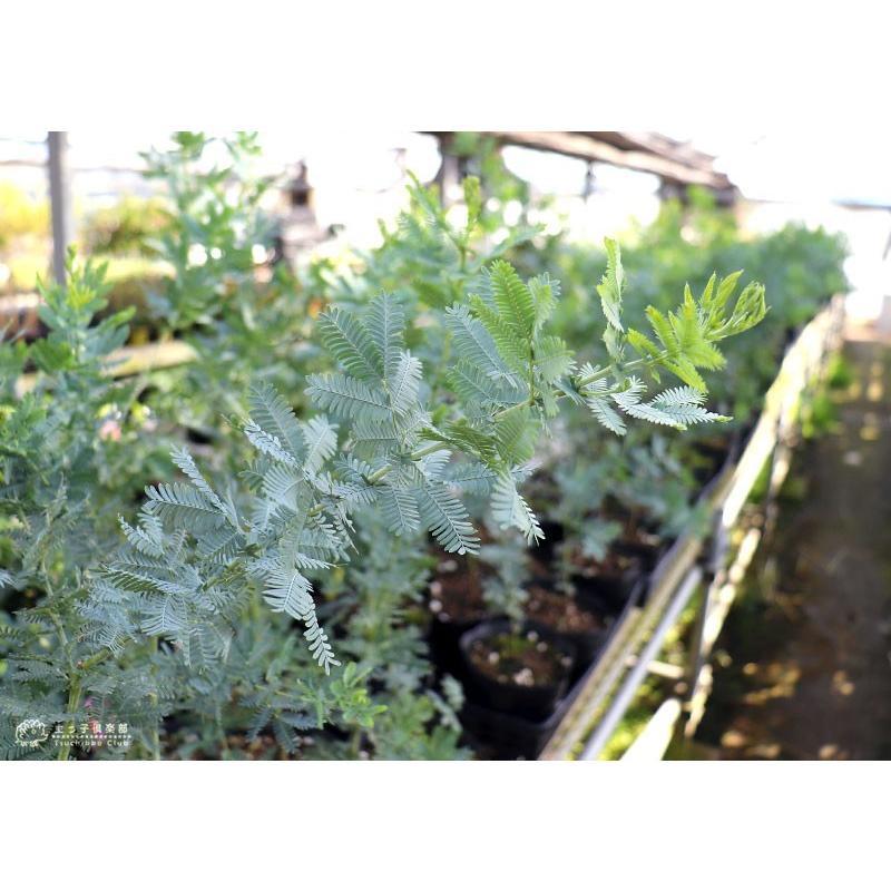 ミモザアカシア 5号(15cm)ポット苗木 ( 銀葉アカシア )|produce87|05