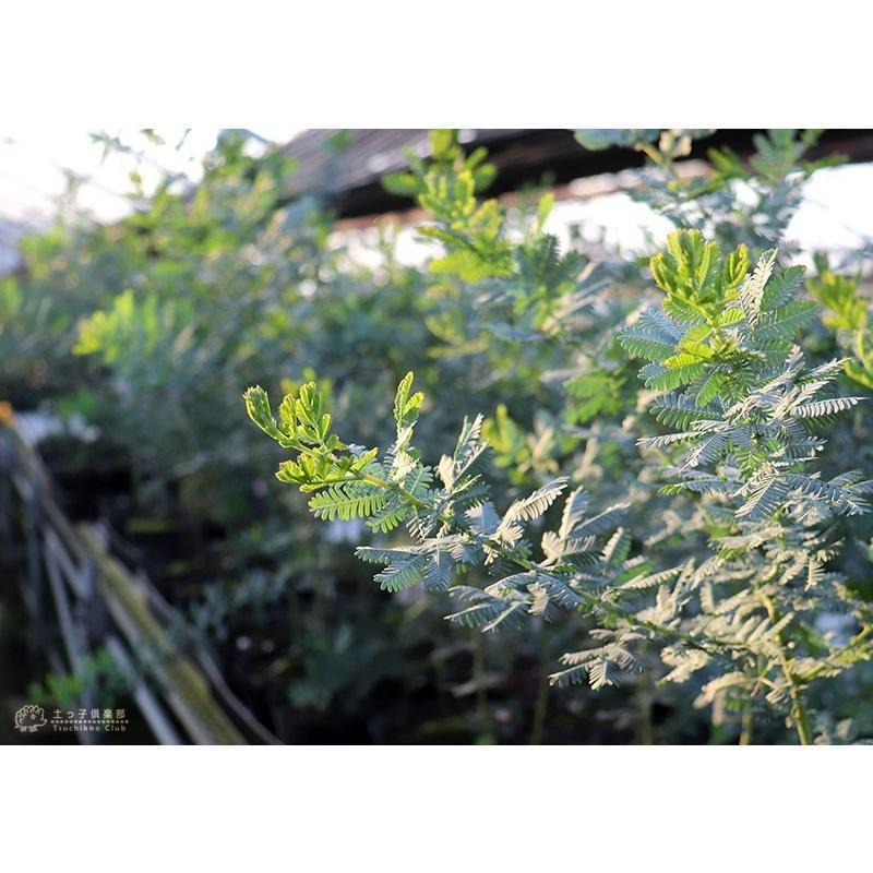 ミモザアカシア 5号(15cm)ポット苗木 ( 銀葉アカシア )|produce87|06