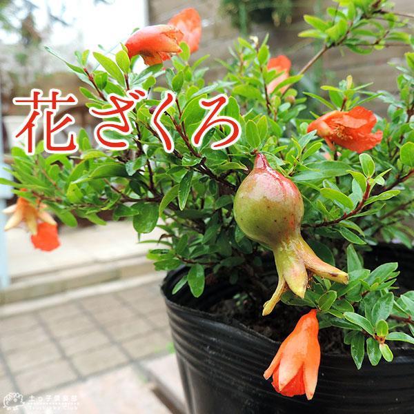 花ざくろ (一才ザクロ・姫ザクロ) 12cmポット苗|produce87