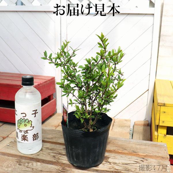 花ざくろ (一才ザクロ・姫ザクロ) 12cmポット苗|produce87|02