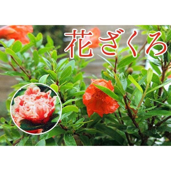 花ざくろ (一才ザクロ・姫ザクロ) 12cmポット苗|produce87|03