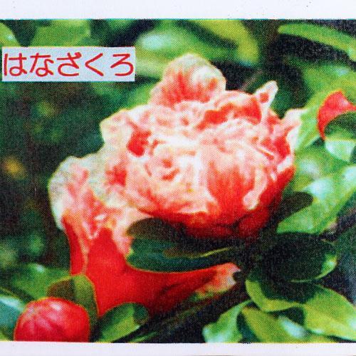 花ざくろ (一才ザクロ・姫ザクロ) 12cmポット苗|produce87|04