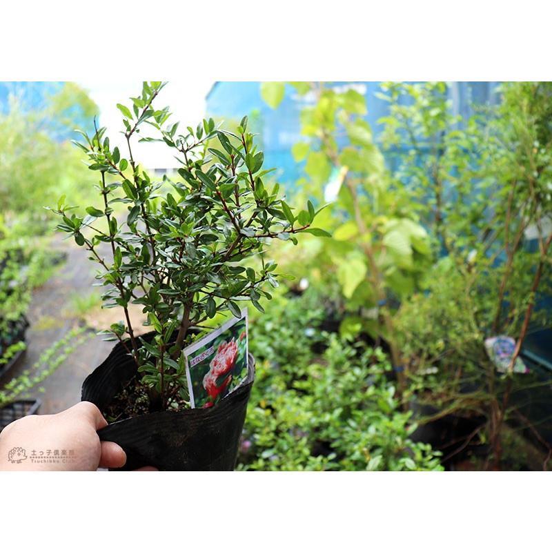 花ざくろ (一才ザクロ・姫ザクロ) 12cmポット苗|produce87|05