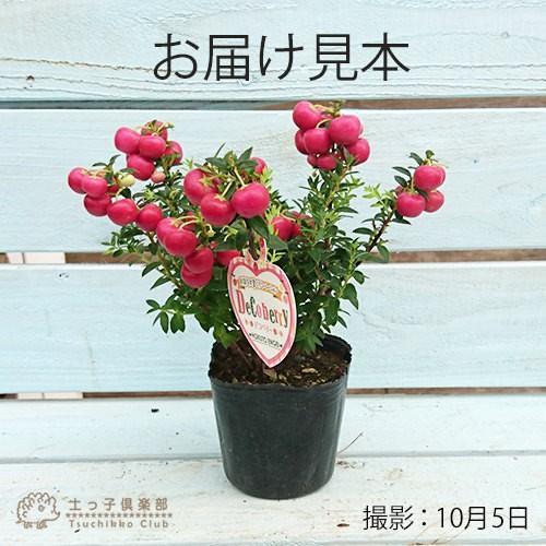 デコベリー 9cmポット苗 ( ハッピーベリー、真珠の木、パールツリー、ペルネチア、ペルネッティア )|produce87|02