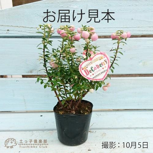 デコベリー 9cmポット苗 ( ハッピーベリー、真珠の木、パールツリー、ペルネチア、ペルネッティア )|produce87|03