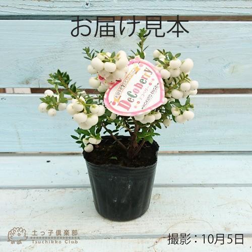 デコベリー 9cmポット苗 ( ハッピーベリー、真珠の木、パールツリー、ペルネチア、ペルネッティア )|produce87|04